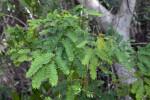 Partridge Pea Leaves