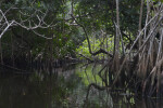 Passage Through Halfway Creek in Everglades National Park that Weaves Through Mangrove Roots