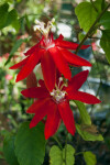 "Passiflora ""Susan Joy"""