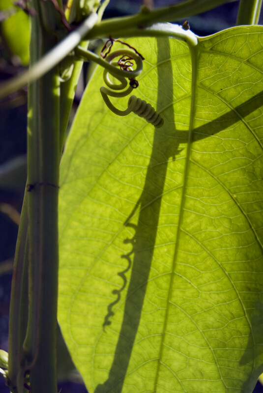 Passiflora Tendril