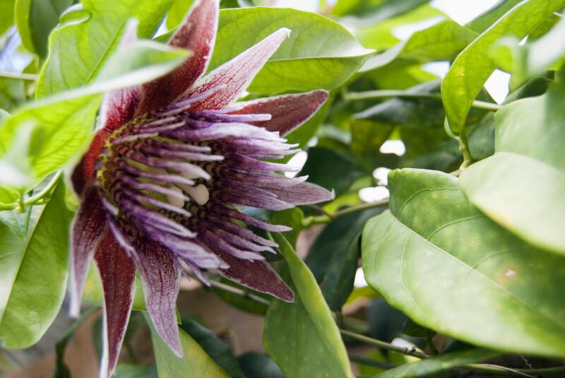 Passifloraceae