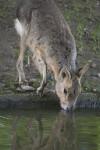 Patagonian Mara Drinking Water