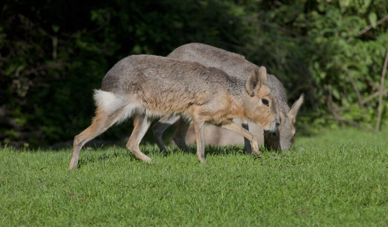 Patagonian Mara Walking During Day