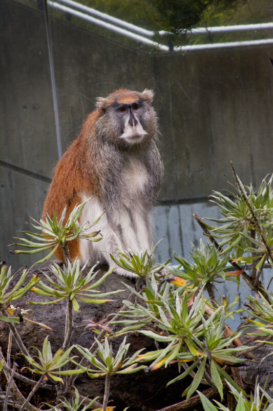 Patas Monkey on Rock