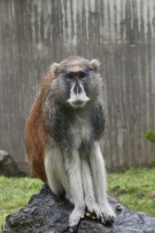Patas Monkey Sitting