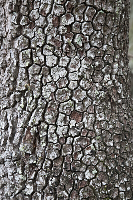 Patched Bark at Myakka River State Park