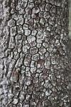 Patched Bark at Myakka River State Park
