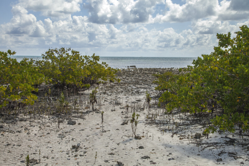 Path to the Atlantic Ocean Leading Through Black Mangroves