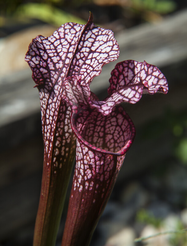 Patterned Pitcher Plant