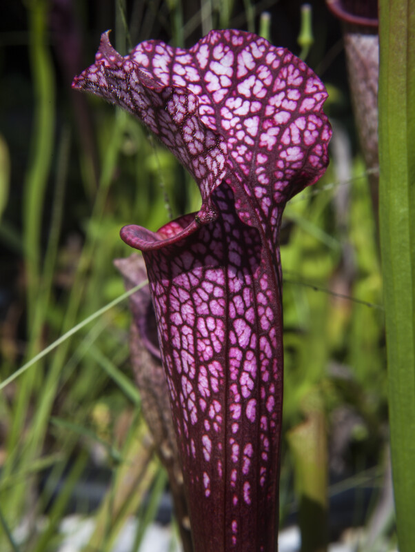 Patterned Purple Pitcher Plant