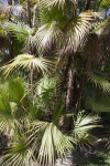 Paurotis Palm (Acoelorrhaphe wrightii)