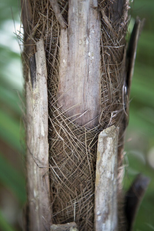Paurotis Palm Bark