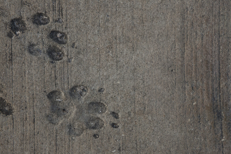 Paw Prints in Sidewalk