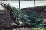 Peacock from Behind