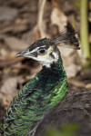 Peahen Close-Up