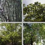Pear Trees photographs