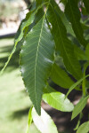 Pecan Tree Leaf Close-Up
