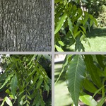 Pecan Trees photographs