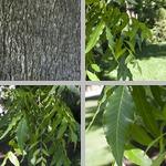Pecan Trees photographs