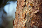 Peeling Bark of Gumbo-Limbo Tree