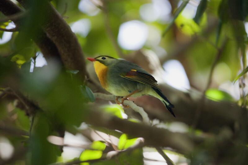 Pekin Robin on Branch