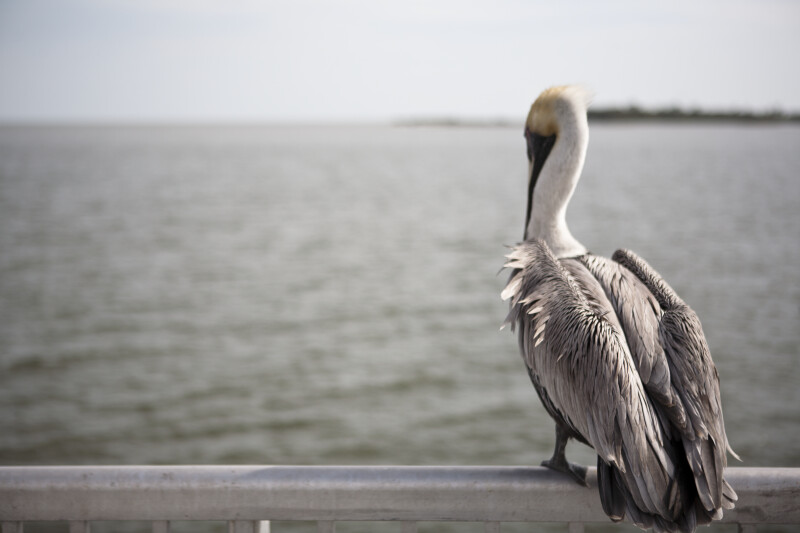 Pelican from Behind
