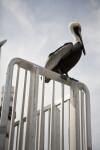 Pelican from Below