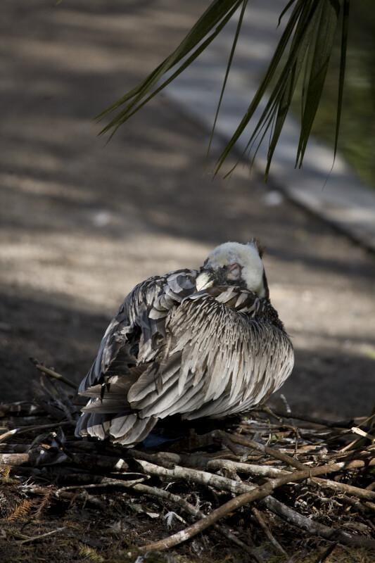 Pelican in Shade