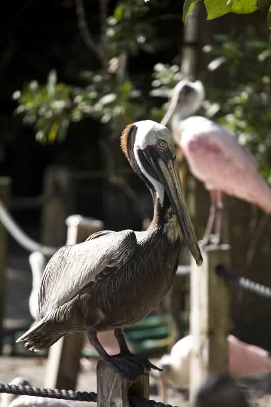 Pelican on Post