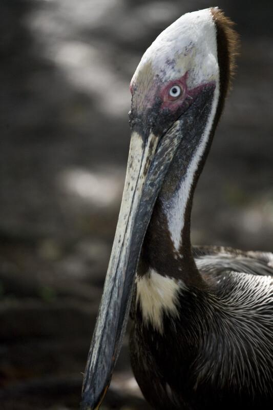 Pelican's Head