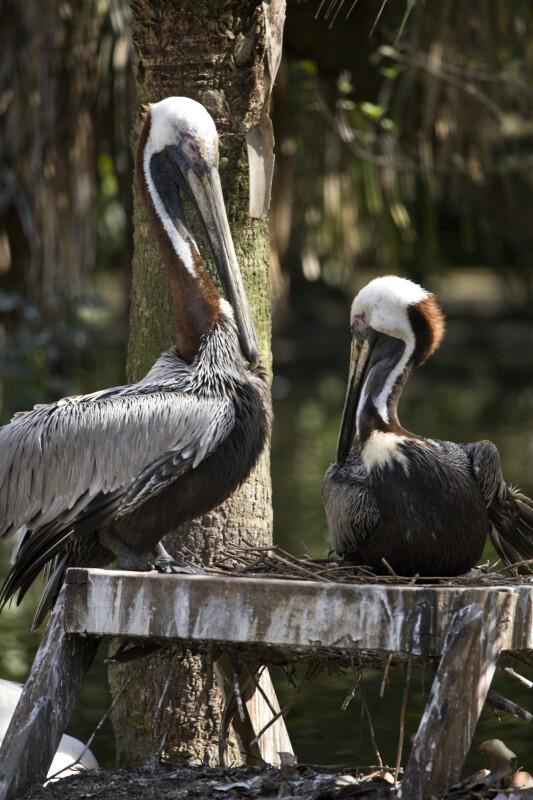 Pelicans on Platform