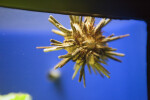 Pencil Sea Urchin in Tank