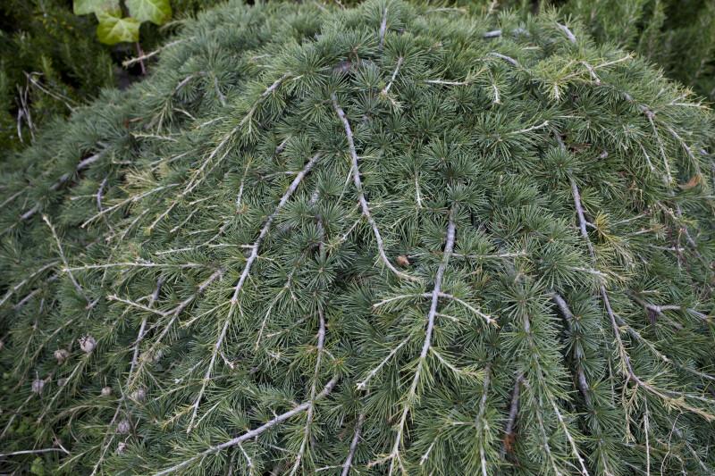 "Pendulous Cedar of Lebanon ""Pendula"""