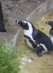 Penguin in Water with Beak over Ledge at the Artis Royal Zoo