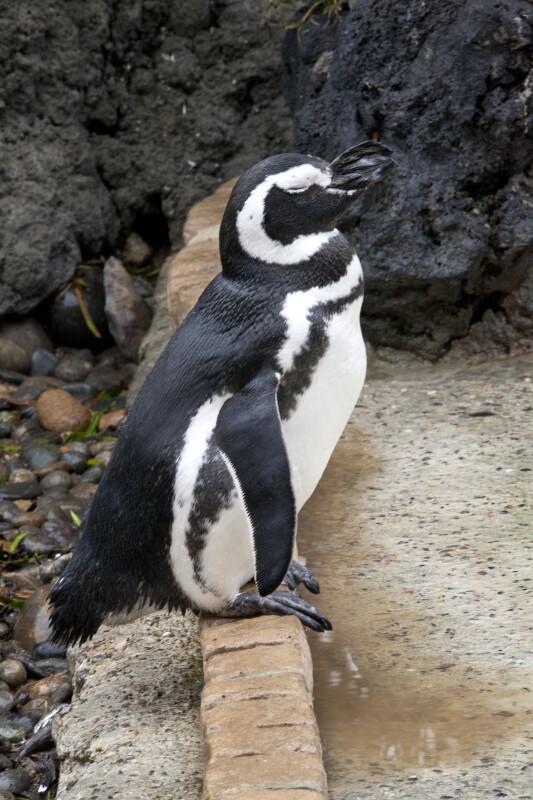 Penguin Resting
