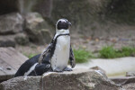 Penguin Standing on a Rock at the Artis Royal Zoo