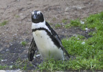 Penguin Tilted to its Right
