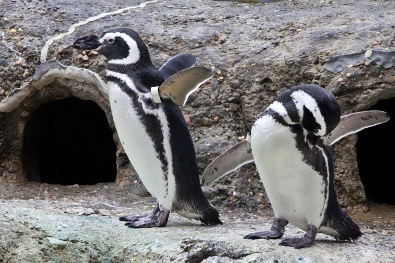 Penguins on Land