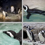 Penguins photographs