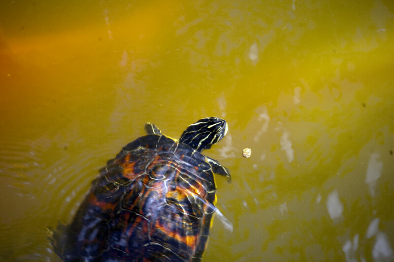 Peninsular Cooter Looking for Food