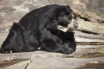 Pensive Spectacled Bear