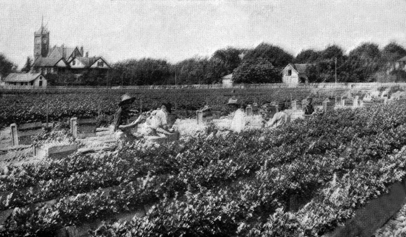 People Harvesting Celery