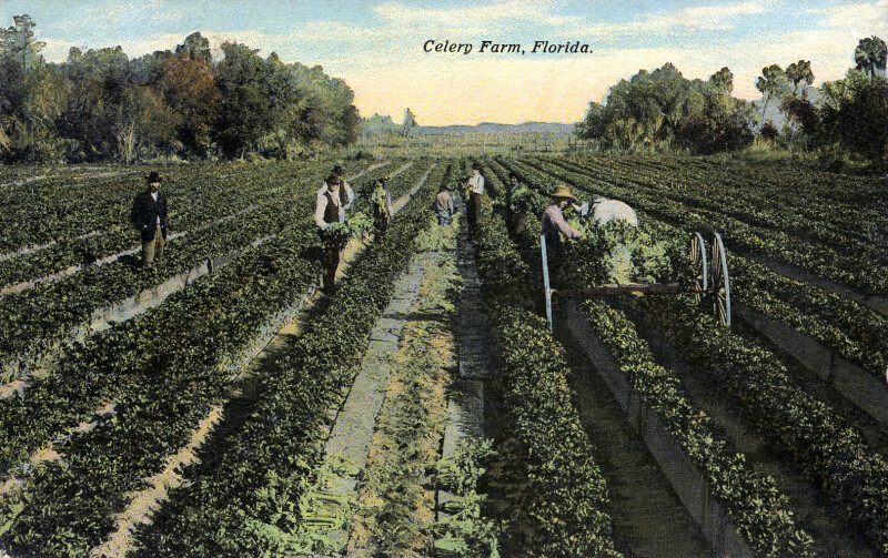 People in the Fields Harvesting Celery, on a Farm in Florida