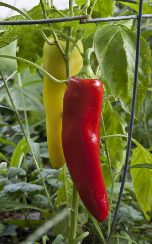 Pepper Plant with Two Peppers
