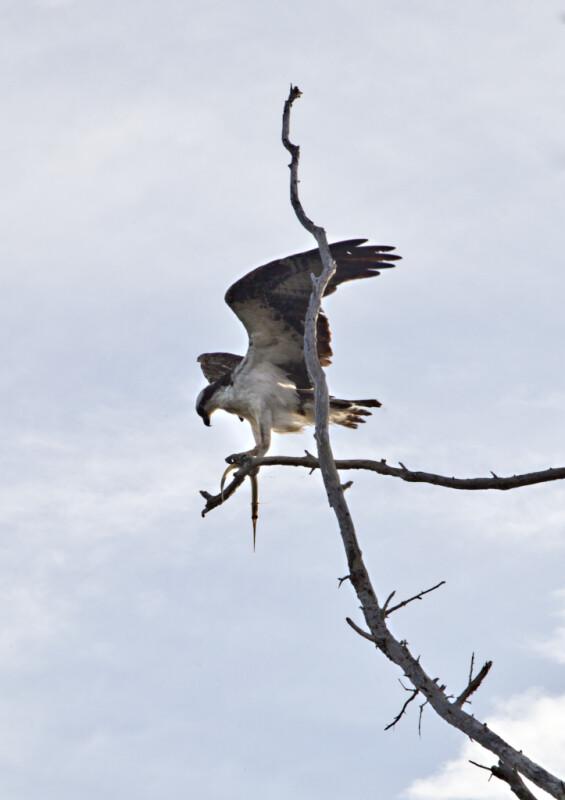 Peregrine Falcon on a Bare Tree Branch