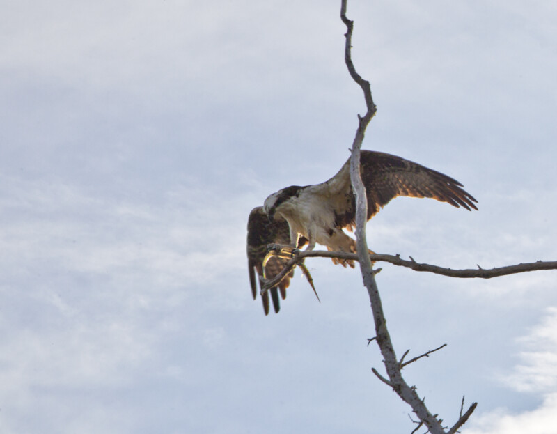 Peregrine Falcon Standing on a Bare Tree Branch with its Wings Spread