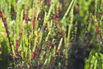 Perennial Glasswort Detail