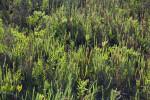 Perennial Glasswort Plants