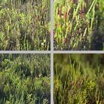 Perennial Glassworts photographs