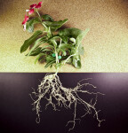 Periwinkle Plant